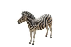 Zera isolated. A isolated picture of a zebra on a white background Royalty Free Stock Photos