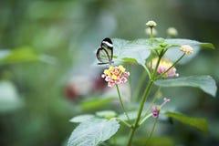 Zerbrechlich sehen Sie durch Schmetterling lizenzfreies stockfoto