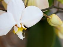 Zerbrechliche Blume der weißen Orchidee, Draufsicht Stockfotos