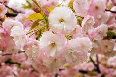 Zerbrechlicher Blütenstand Rosakirschblütes mit Regentropfen an einem Frühlingstag r Natur und Botanik stockbild