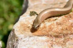 Zerbrechliches Aalen Blindschleiche Anguis auf einem sonnigen Stein Lizenzfreie Stockfotos