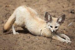 Zerda лисицы лисы Fennec Стоковое фото RF