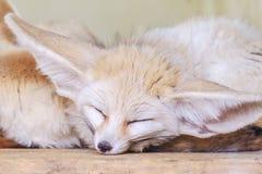Zerda лисицы лисы Fennec Животное живой природы Стоковое фото RF