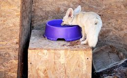 Zerda do Vulpes das raposas de Fennec, animal dos animais selvagens fotos de stock