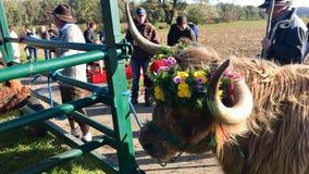 Zeremonieller Abfall des Viehs von den Sommerweiden im schwäbischen Alb Lizenzfreies Stockfoto