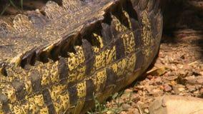 Zerfurchte Skalen auf Krokodil zurück stock video footage