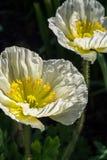 Zerknitterte weiße und gelbe Mohnblume blüht im Sonnenschein lizenzfreies stockbild