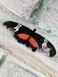 Zerlumpter roter und schwarzer Schmetterling stockbilder