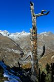 Zermatt in the valley, Swiss Alps, Switzerland. Dead wood above the Matter Valley with the village of Zermatt, peaks Ober Gabelhorn, Wellenkuppe and Zinalrothorn stock photography