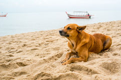 Zerreißender Hund füllte mit Gefühlen durch den Strand stockbilder