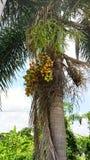 Zerrissene Palmenfrucht Construction†‹ Stockbilder