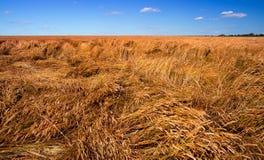 Zerstörte die Ernte des Weizens durch einen starken Wind, ein Feld, das durch einen Hurrikan verdorben wurde stockfoto