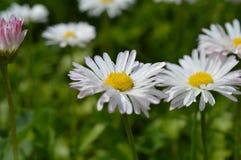 Zerstreuen von weißen Gänseblümchen Lizenzfreies Stockfoto