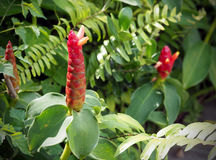 Zerumbet Zingiber lub kwiatu kwiatów Czerwony kolor Obrazy Royalty Free