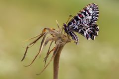 Zerynthia Polyxena蝴蝶夏天早晨在草甸 免版税图库摄影