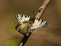 Zerynthia polyxena. Royalty Free Stock Images