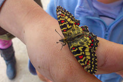 Zerynthia rumina. The Spanish Festoon, Zerynthia rumina, is a butterfly belonging to the family Papilionidae. It is a widespread species in Spain and frequents Royalty Free Stock Image