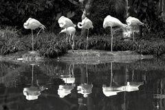 Zes Amerikaanse flamingo's die zich dichtbij een vijver bevinden stock afbeelding