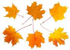 Zes bladeren van de esdoornherfst Stock Foto