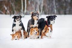 Zes hondenportret van de grenskoelie in de winter Stock Foto