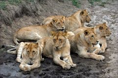 Zes leeuwen. stock afbeelding