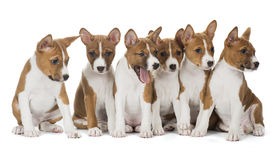 Zes puppy leuke Basenji Royalty-vrije Stock Afbeeldingen