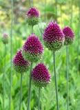 Zes Purpere Trommelstok Alliums op het Groene Grasgebied Stock Afbeelding