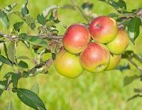 Zes rood wordende appelen Royalty-vrije Stock Afbeelding