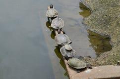 Zes schildpadden het zonnebaden Royalty-vrije Stock Afbeelding