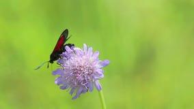 Zes-vlek burnet de vlinder van /Zygaena filipendulae/is op wilde purpere bloem, macro stock videobeelden