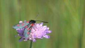 Zes-vlek burnet de vlinder van /Zygaena filipendulae/is op wilde purpere bloem, macro stock video