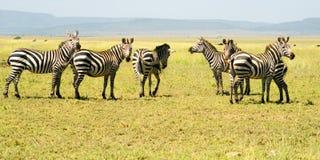 Zes Zebras Stock Foto's