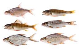Zes zoetwater kleine die vissen op wit worden geïsoleerd royalty-vrije stock afbeelding
