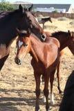 Zespół dziki Amerykański mustangów koni źrebak z kierowym blaskiem obraz stock
