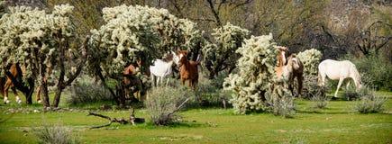 Zespół dzicy konie w cholla kaktusach Obraz Stock