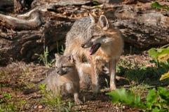 Zestawów stojaki z Popielatego Fox lisicami (Urocyon cinereoargenteus) Zdjęcie Royalty Free