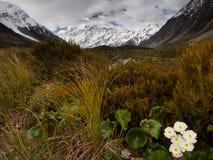 Zet Cook Lily en MT Cook, Hooker Vallei, Nieuw Zeeland op Stock Afbeeldingen