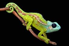 Zet Hanang-kameleon (Trioceros-hananganensis) op royalty-vrije stock afbeeldingen