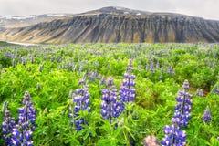 Zet het de zomer Ijslandse landschap met tot bloei komende blauwe lupinebloemen en bizar op de achtergrond op royalty-vrije stock fotografie