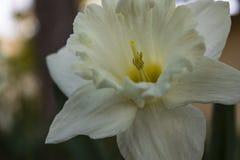 Zet Hood Daffodil op stock foto's