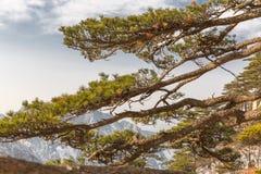 Zet Huangshan-Pijnboom op Stock Foto