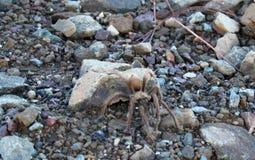 Zet Umunhum-het Wildtarantula op stock foto's
