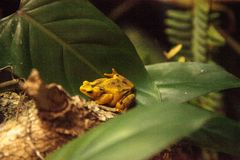 Zeteki Atelopus лягушки жителя Панамы золотое редко стоковое фото