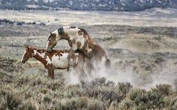 Zeugung des Sand-Waschbeckens wildes Pferde lizenzfreies stockbild