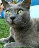 Zeus cat olive eyes stock image