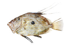 Zeus Faber fish. Zeus Faber (John Dory) fish, isolated on white Stock Photography