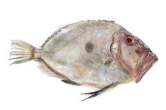 Zeus faber Fish Stock Images