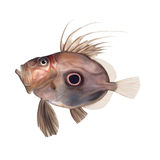 Zeus faber, John dory Stock Photos