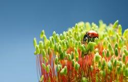 Zeven bevlekt onzelieveheersbeestje op mos Stock Foto's