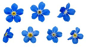 ForgetMeNotsBlossoms Stock Fotografie